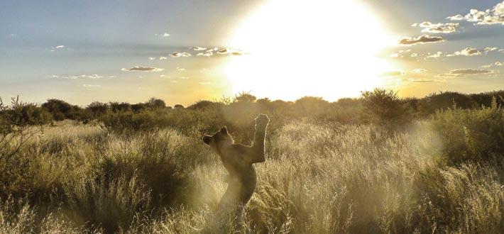 Jobb med villdyr i Botswana